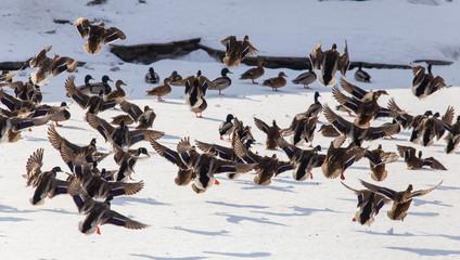 Duck in flight over white snow in winter © schankz