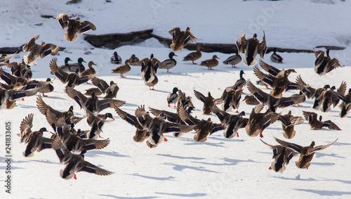 Obraz na płótnie Duck in flight over white snow in winter