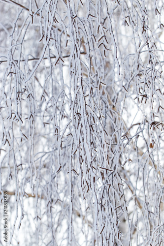 Frozen branches on a tree in the forest in winter - 241833885