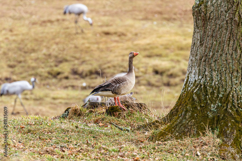 Greylag Goose at a tree trunk in a meadow