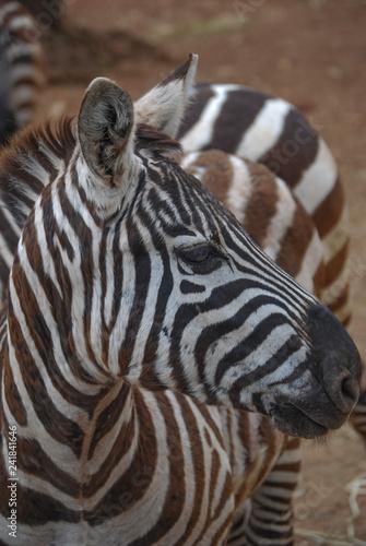 jungle safari in Africa - 241841646