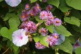 Violettes - 241845219