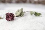 Rose im Schnee - 241852894
