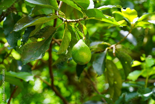 mata magnetyczna View of a green avocado growing on an avocado tree in French Polynesia