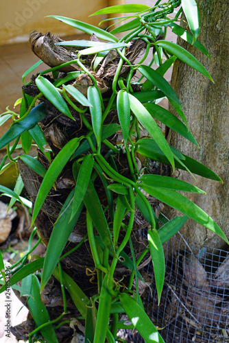 View of a green vanilla orchid plant growing in Moorea, French Polynesia - 241853896