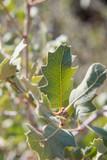 Leaf Detail on Desert Scrub Bush - 241866043