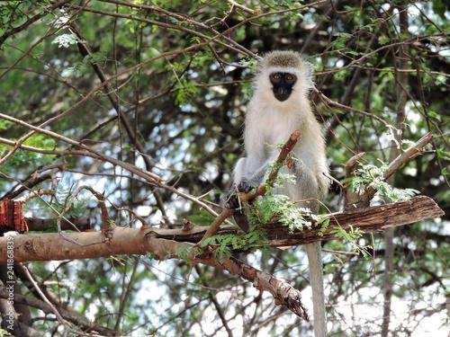Obraz na płótnie Affe im Baum