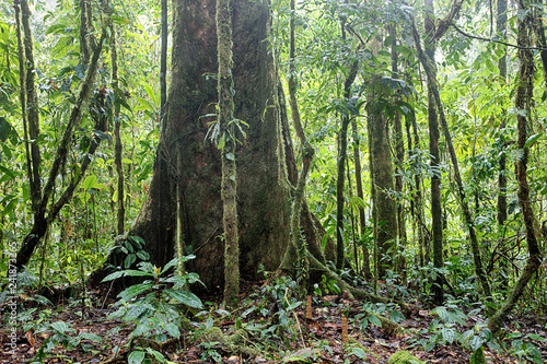 Giant rain forest tree in tropical Amazon jungle of Colombia.