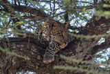 leopard resting on a tree in the Serengeti