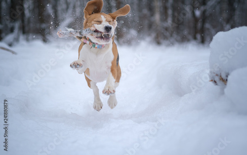 mata magnetyczna Beagle dog runs and plays in a fabulous snow-covered Park