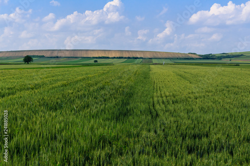 Lush green wheat field and country side scenery on a bright, sunny spring day, Vojvodina, Serbia. Countryside landscape. Natural background.