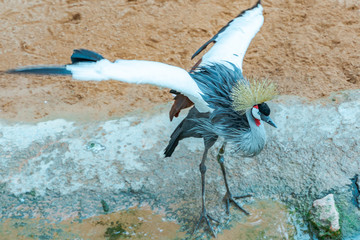 The black crowned crane (Balearica pavonina) is a bird in the crane family Gruidae. Mating games.