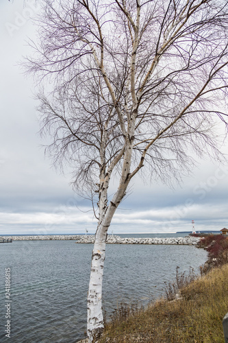 birch tree on the shore of lake - 241886815