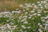 Hermoso retrato de margaritas silvestres en el prado