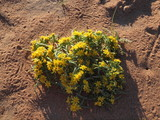 plante, desert Nevada, États-Unis