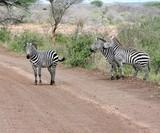 Fototapeta Fototapeta z zebrą - Zebras in der Savanne Afrikas auf einer Straße © Jan