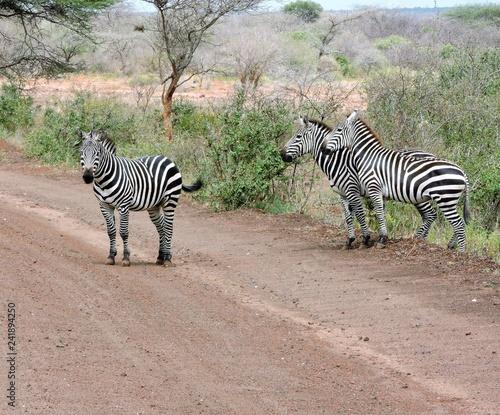 Zebras in der Savanne Afrikas auf einer Straße - 241894250