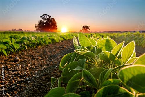 Leinwanddruck Bild Soybean field and soy plants in early morning.