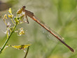 damselfly (Platycnemis latipes Rambur) in the early morning in some bushes