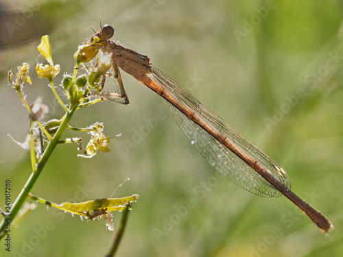 damselfly (Platycnemis latipes Rambur) in the early morning in some bushes - 241907280