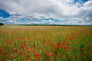 Flowers red poppies blossom on green wild field on the May with blue sky and clouds