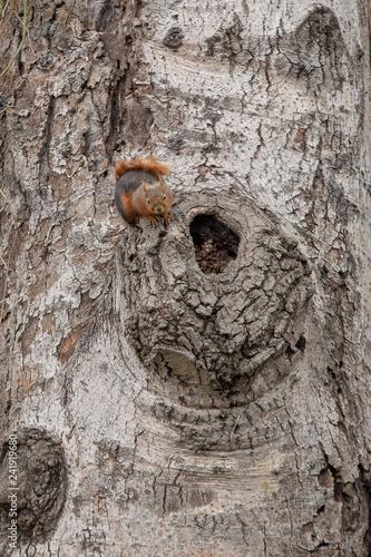 squirrel - 241919680