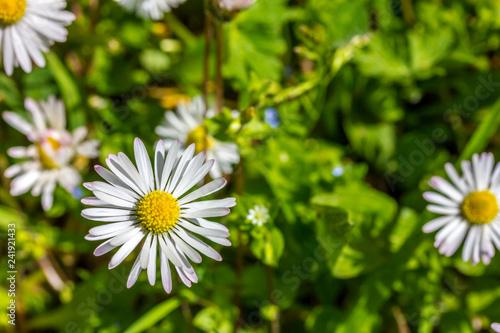 Blumenwiese im Frühling mit vielen Gänseblümchen