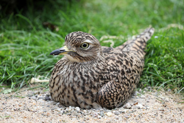 Ruffed grouse bird sitting on nest in sand and stones
