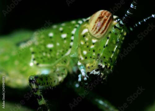 Grasshopper on green leaf - 241945093