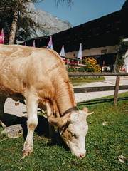 Cow grazing at summer green field