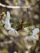 Leinwanddruck Bild - apfelblüte weiß1