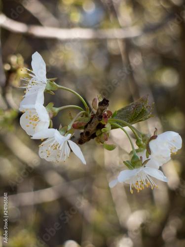 Leinwanddruck Bild apfelblüte weiß1