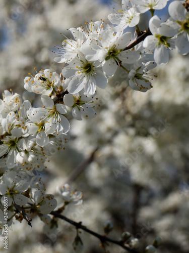 Leinwanddruck Bild Apfelblüte2