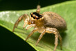 Garden Jumping Spider - Opisthoncus parcedentatus on a green leaf side view, looking away from the camera
