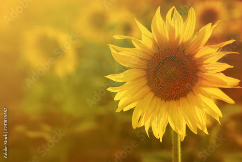 big yellow sunflower warm Background reflective light from the sun.