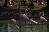 Pink flamingos at the Kiev zoo