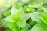 Green peppermint grown in the garden in the top view.Medicinal plants that have a cool aroma.Popularly used as a component of ice cream and tea, as well as other types of food. - 241982423
