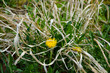 Löwenzahn - Blume - verdorrtes Gras - nah