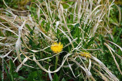 Löwenzahn - Blume - verdorrtes Gras - nah - 241993031