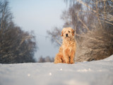Furry dog sitting in the snow. Portrait of dog - 242000686