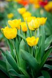 beautiful yellow tulips - 242001480