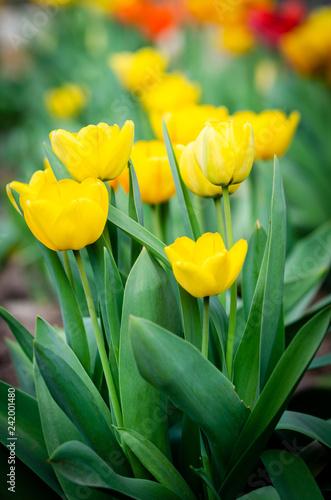 Foto Murales beautiful yellow tulips