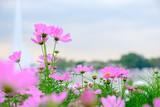 Fototapeta Kosmos - Pink flowers in field. © Winyou