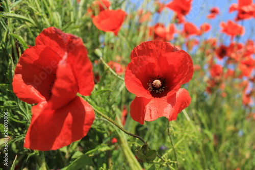 red poppies in a field - 242003006