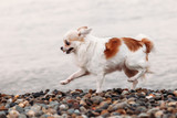 Little beautiful happy smiling dog Chihuahua runs on the beach