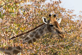 Fototapeta Sawanna - giraffe portrait in Namibia © mauriziobiso