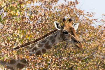 giraffe portrait in Namibia