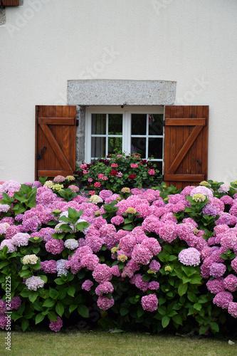 Hortensien an einem Haus in der Bretagne