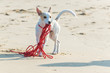 Leinwanddruck Bild - Young white terrier puppy plays with his long red leash on a sandy beach