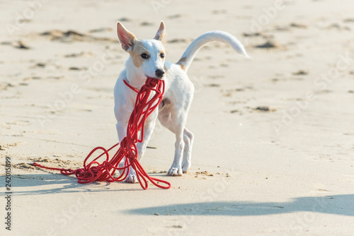 Leinwanddruck Bild Young white terrier puppy plays with his long red leash on a sandy beach